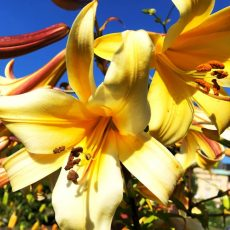 Sommerliche Kübelpflanzen